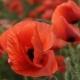 poppy4_4923